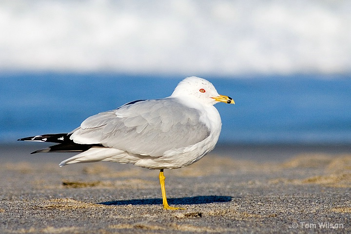 Ring-billed Gull and Surf