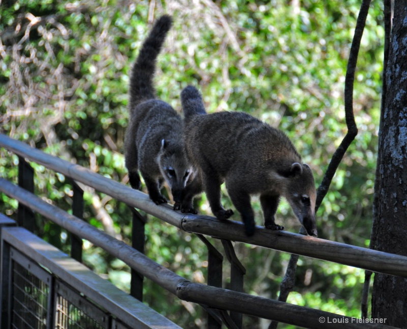 Coati River Crossing