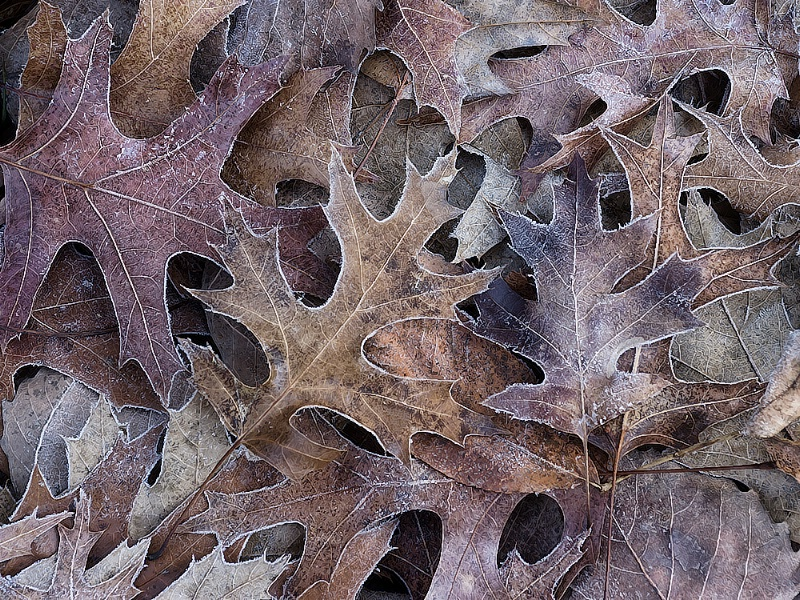Frosted Oaks