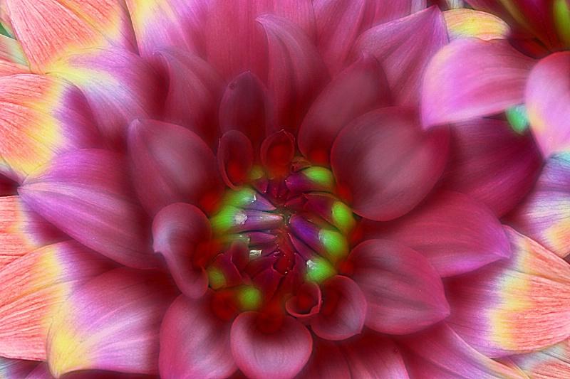 pink dahlia 2