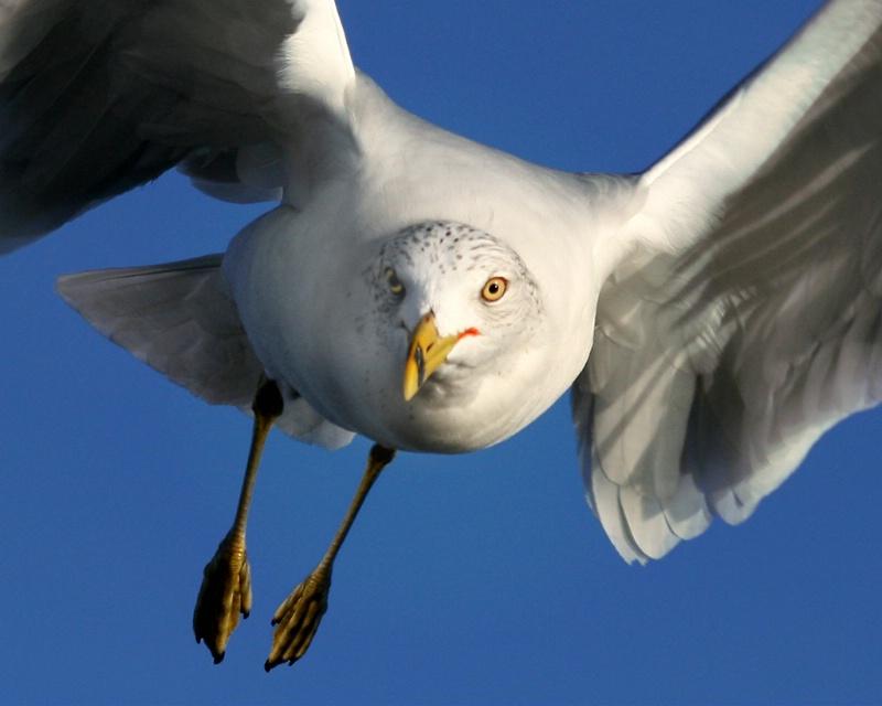Gull:  Eye to Eye