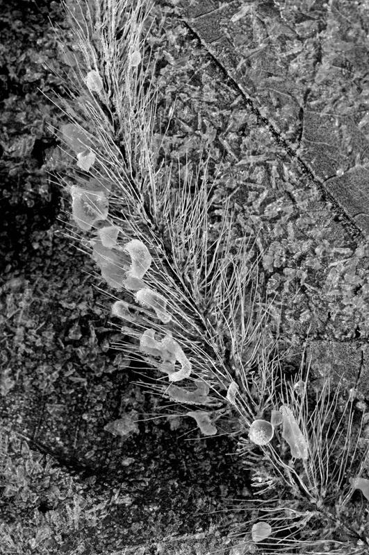 Iced Foxtail Grass