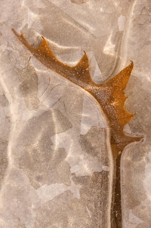 Iced Maple Leaf