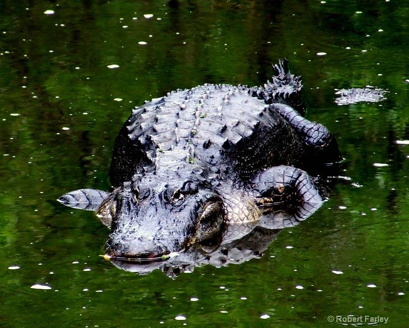 Staring down the Gator