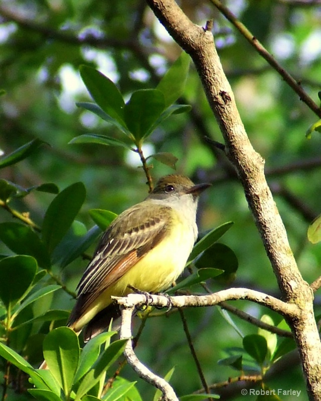 Great Crested Fly Catcher