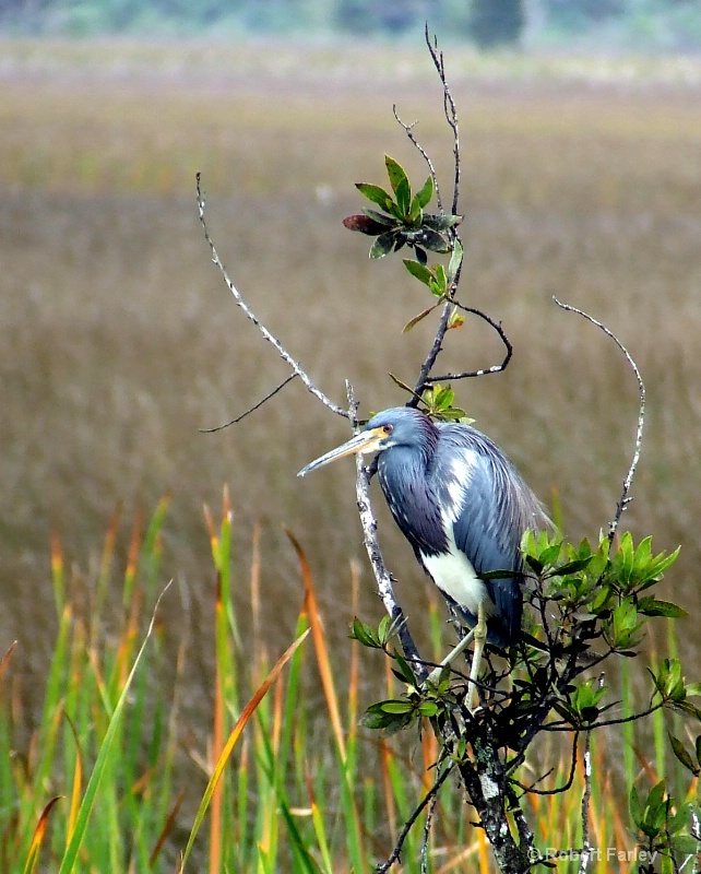 Tricolor Heron, Everglades
