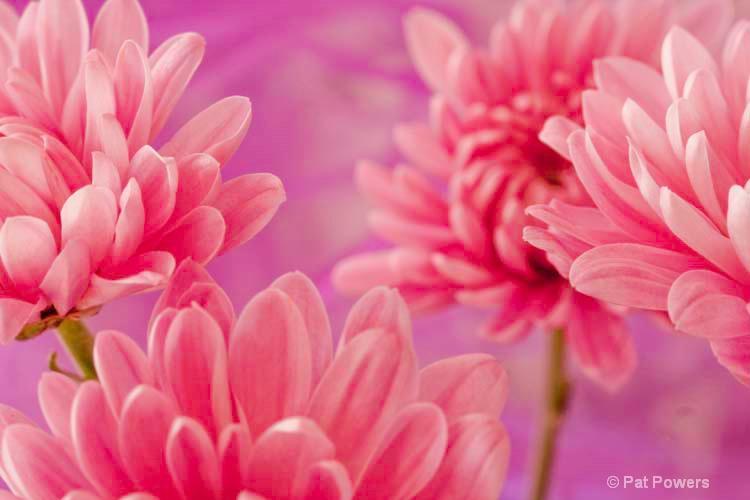 Pink Mums