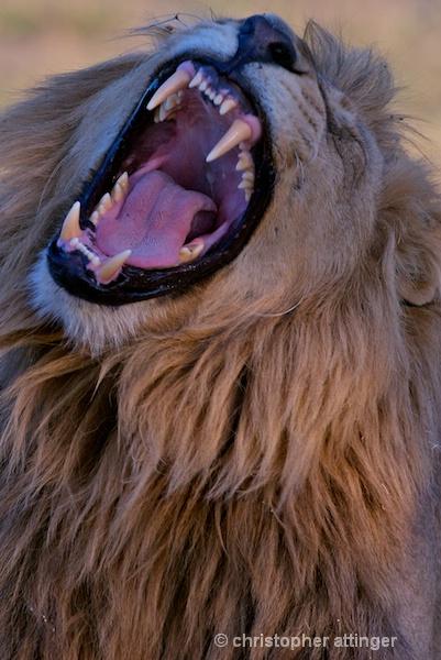 BOB_0161- lion head with thorn roaring