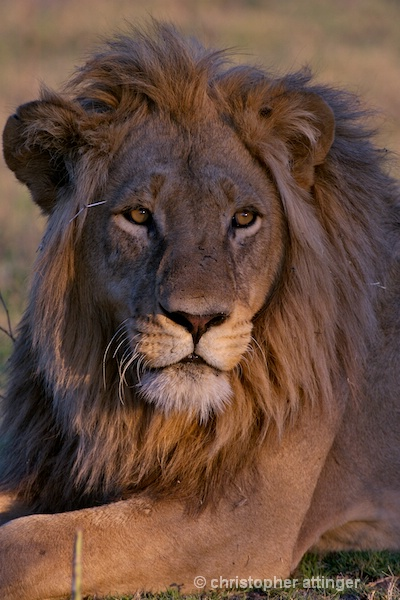 BOB_0181 - lion head with thorn