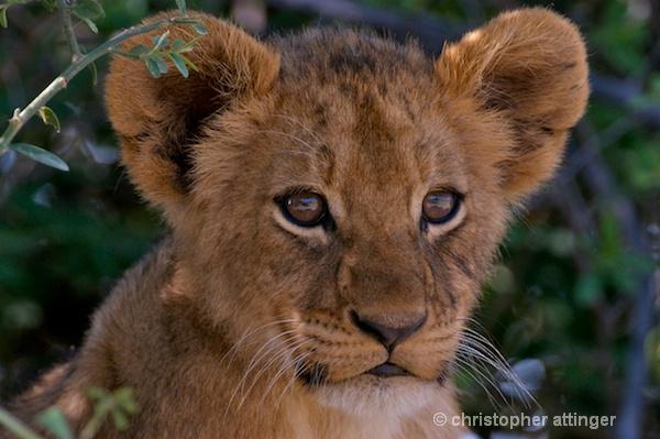 BOB_0064 - lion cub head