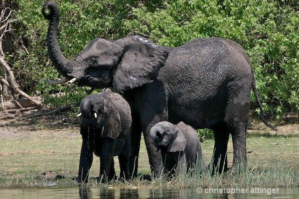 BOB_0071- elephant and 2 young calves