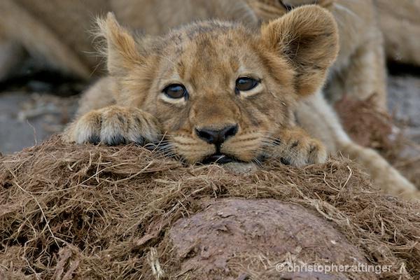 BOB_0073 -  lion cubs on elephant dung