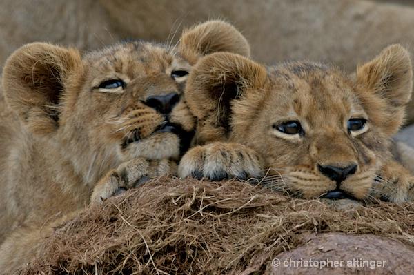 BOB_0075 - 2 lion cubs on elephant dung