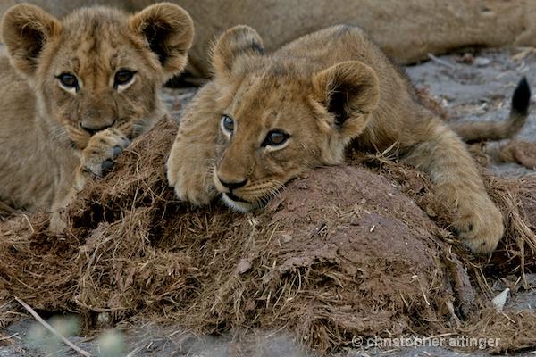 BOB_0079 - 2 lion cubs on elephant dung
