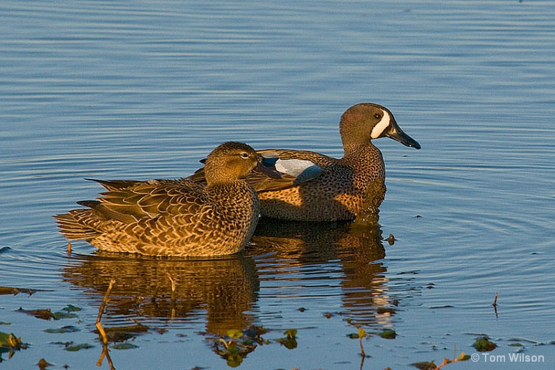 Male and Female Blue-winged Teal