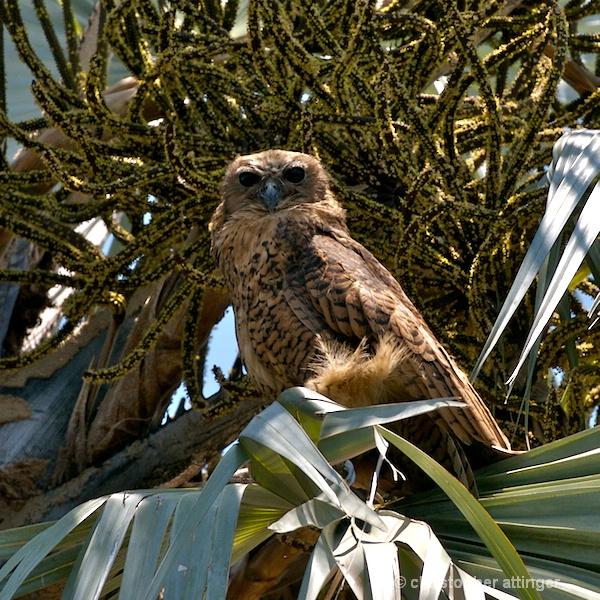 BOB_0014 - Pell's fishing owl
