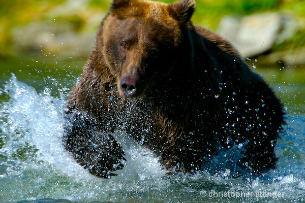 DSC_0064 - Brown bear fishing