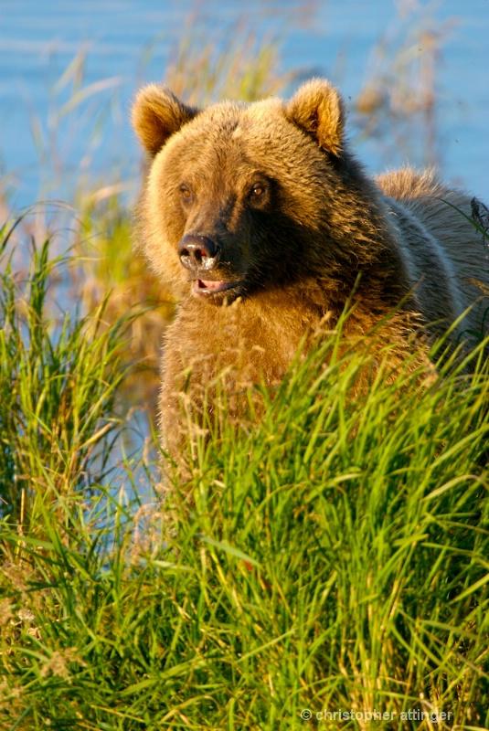 DSC_ 0185 - Male 2 yr. old cub in sun