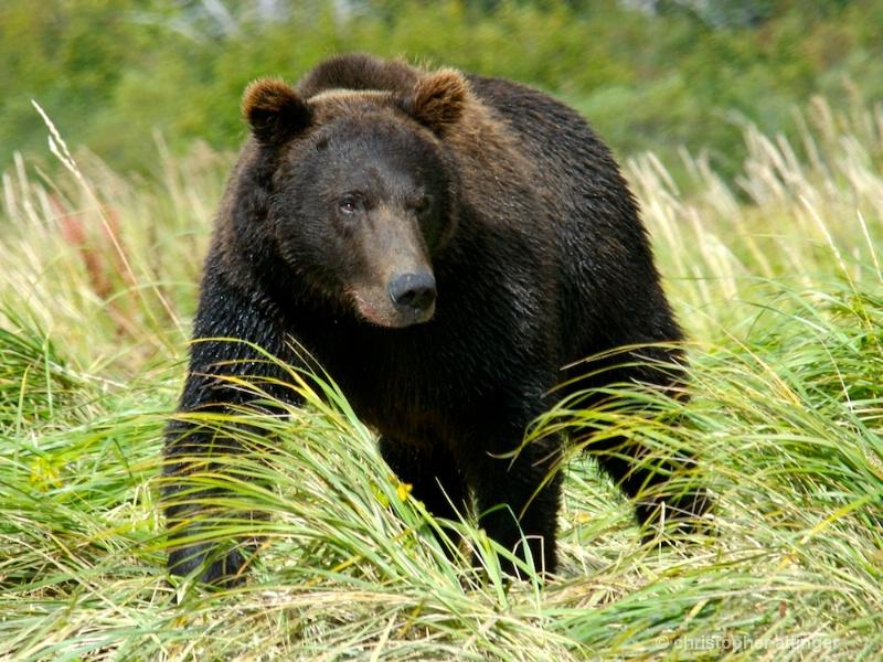 DSC_ 0072 - Male brown bear in grass