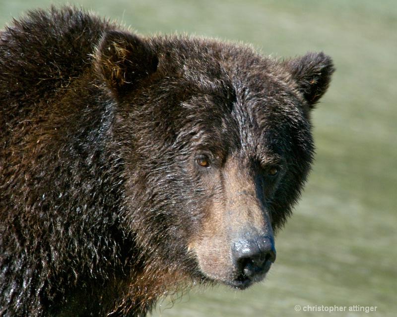 DSC_ 0085 - Male brown bear head in sun