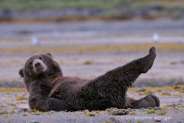 DSC_0050 series #3:  2 yr. brown bear stretching