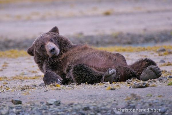 DSC_0038 series #1:  2 yr. brown bear stretching