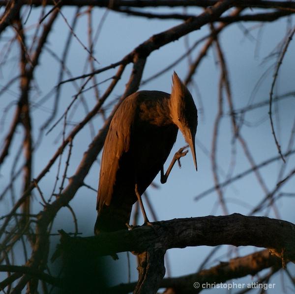 BOB_0081- Hammerkop in tree