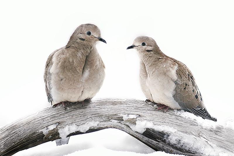 Doves in Winter