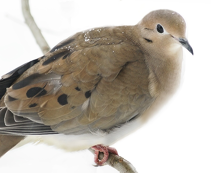 Dove at the Window