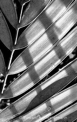 Palm Frond, Climatron