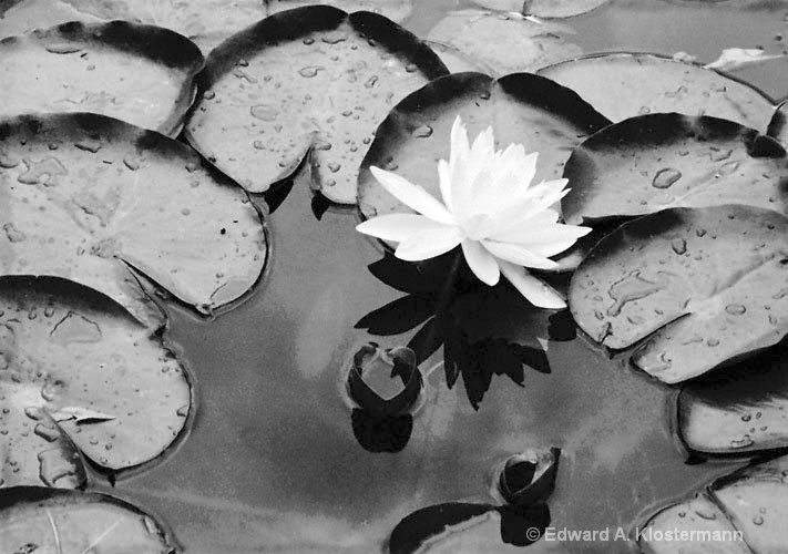 single-white-water lily, TGP