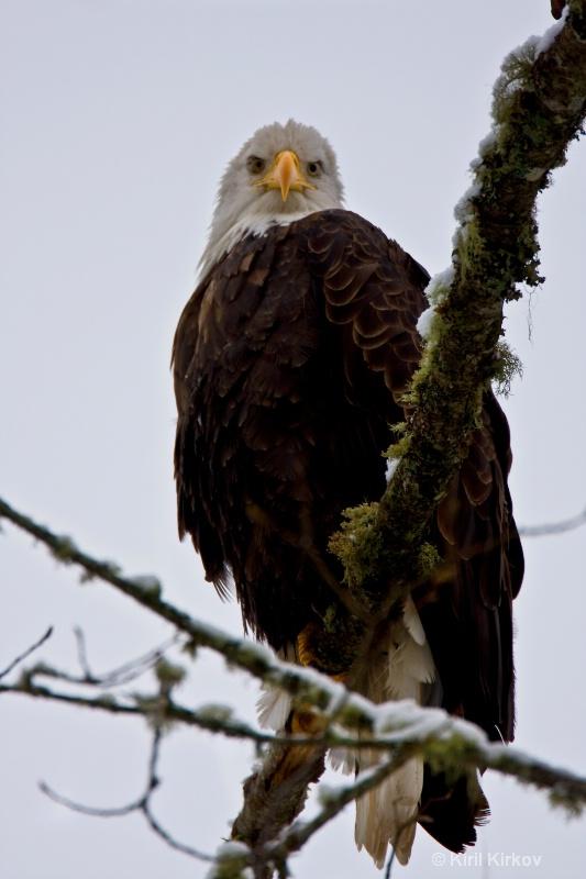 Bald Eagle (Haliaeetus- eucocep)