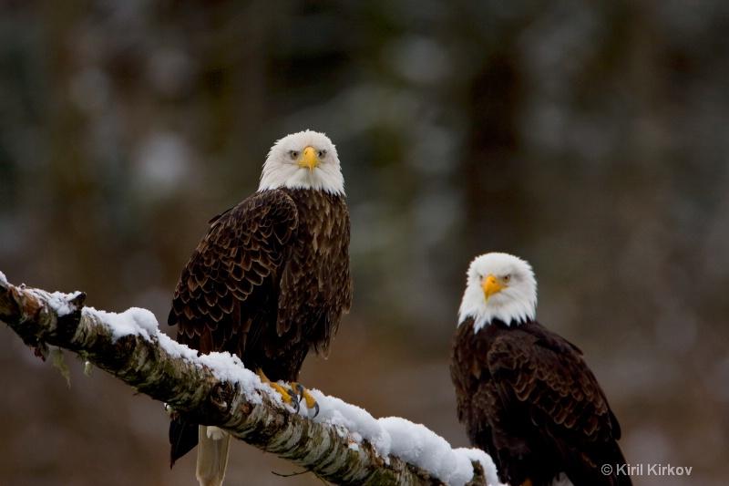 Bald Eagle12
