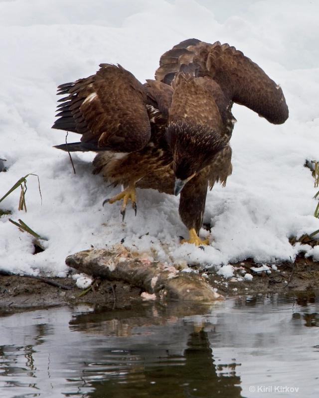 Bald Eagle11