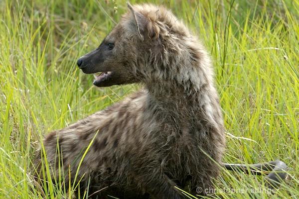 BOA0141 Turned hyena head