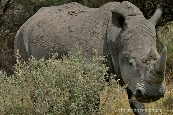 _BOB0461 rhinoceros in high grasses