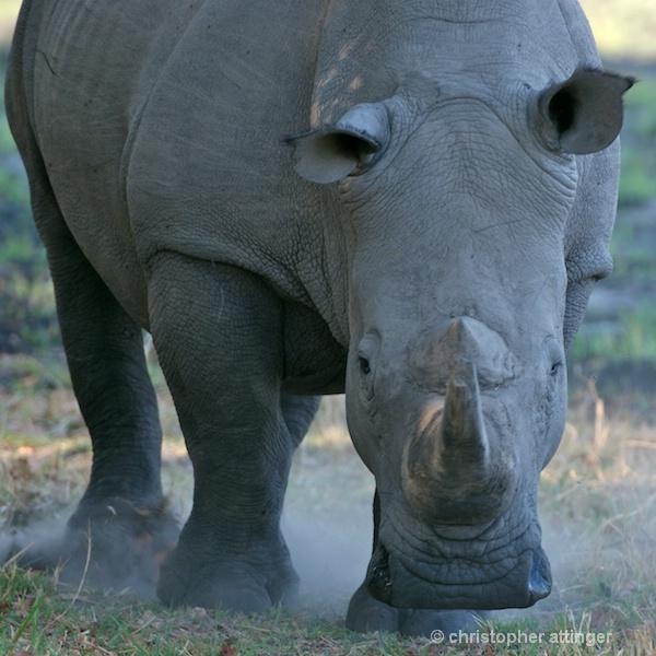 _BOB0018 white rhinoceros frontal view