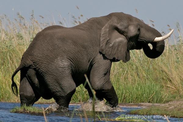 _BOB0034 large bull elephant & carmine bee eaters