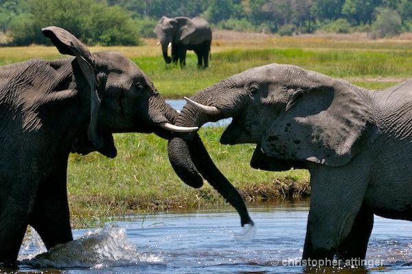 _BOB0048  elephants jousting in stream