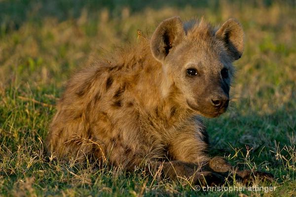_BOB0092 hyena lying in the sun
