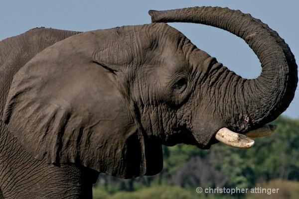 _BOB0093  3 photo series: elephant and trunk #1