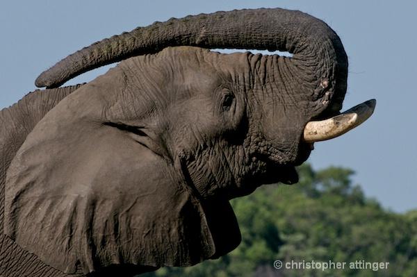_BOB0095  3 photo series: elephant and trunk #2