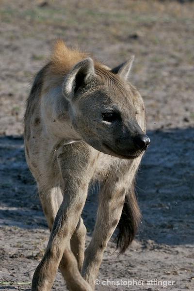 _BOB0103 hyena