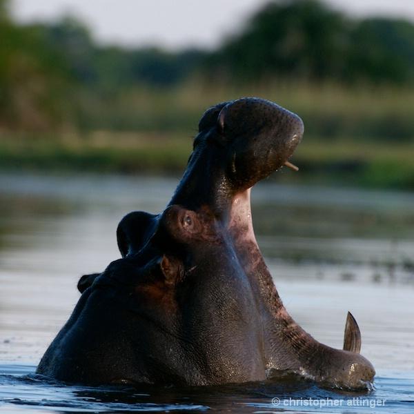 _BOB0140 Hippopotamus