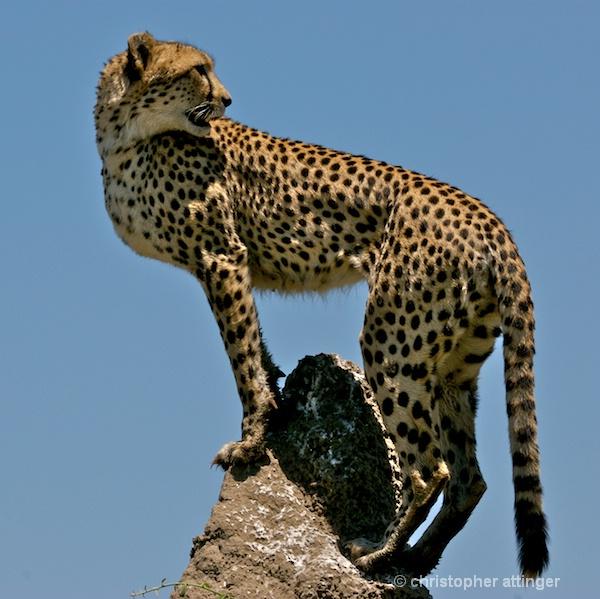 BOB_0247 Cheetah on termite mound