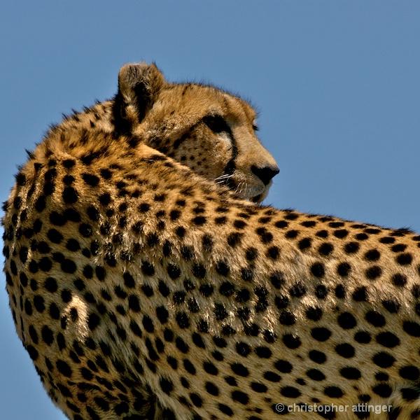 BOB_0248 Cheetah turning head