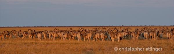 _BOB0263 Dazzle of zebras