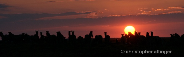 _BOB0276 Dazzle of zebras at sunset