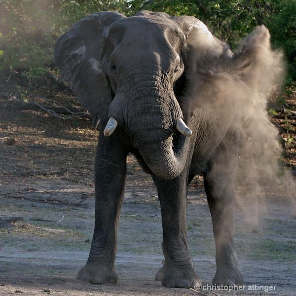 _BOB0365 elephant dusting itself