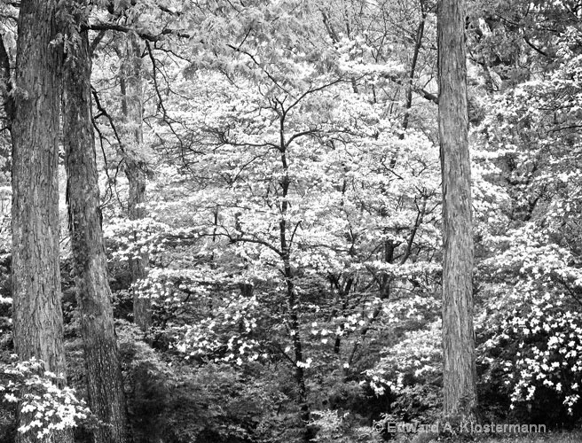 dogwoods, Franklin County, MO